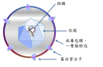 (zh)Virus_stucture_simple.png