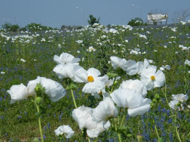 德州白玫瑰近景