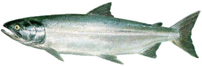 Dog salmon-ocean-chum.jpg