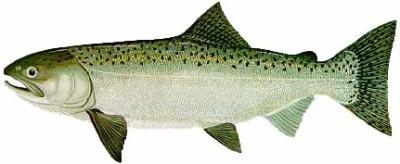King Salmon.jpg
