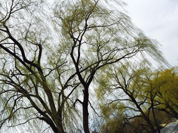 Willow 1s.jpg