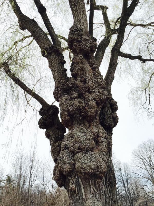 Willow 6s.jpg