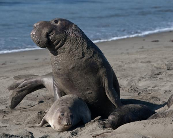 Mating_scene_with_elevated_Alpha_Male._Elephant_Seals_of_Piedras_Blancasc.jpg
