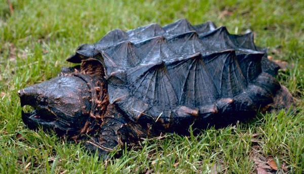 鳄龟.jpg