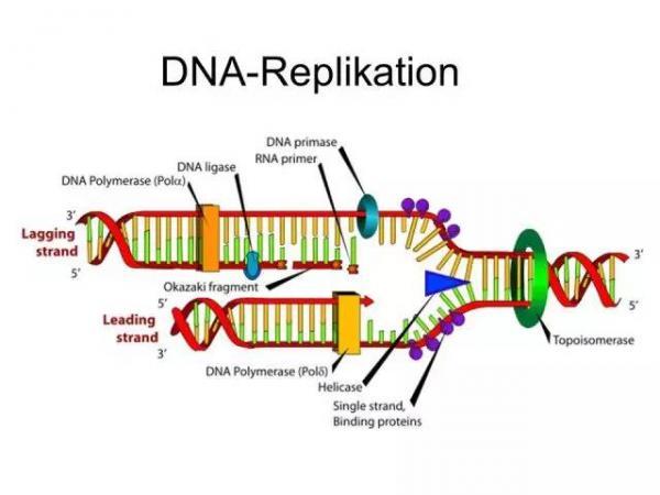DNA replication.jpg