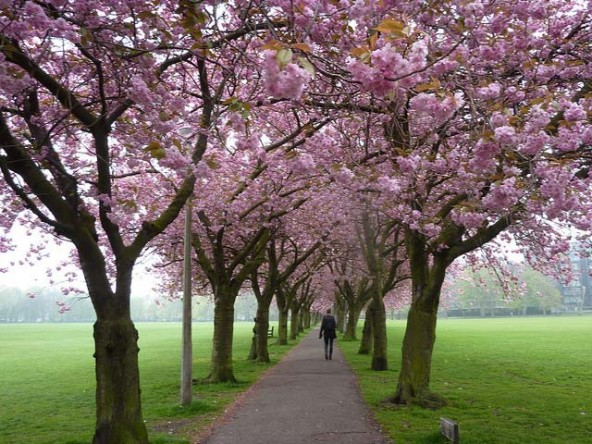 meadows-cherry-blossoms-592x444.jpg