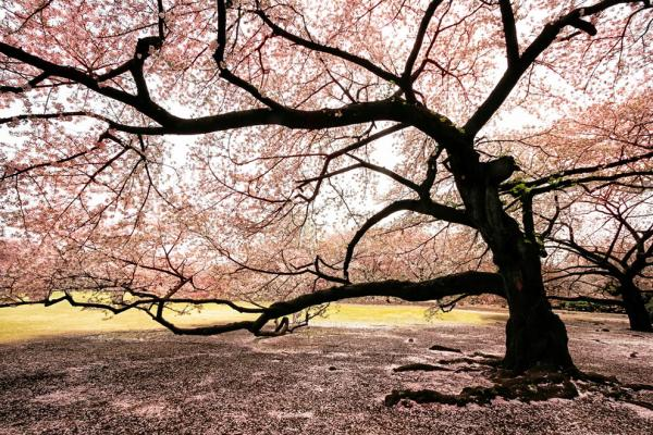 Massive-blooming-Sakura-tree.jpg