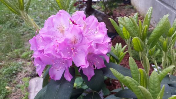 pic8-rhododendron.jpg