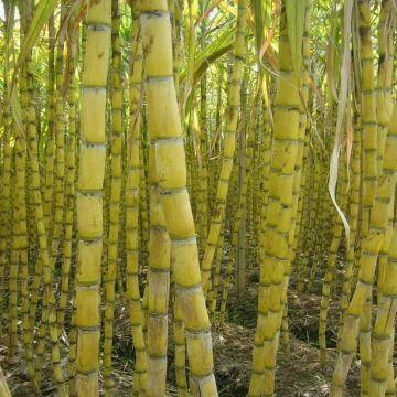 甘蔗-果蔗-水果甘蔗-食用甘蔗-黄皮甘蔗-sugar-cane.jpg