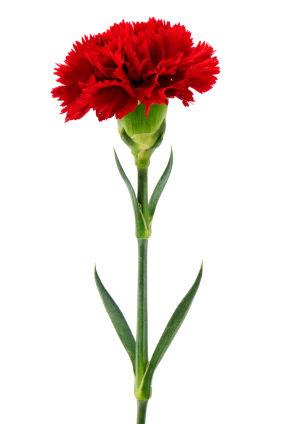 Carnation111080111834.jpg