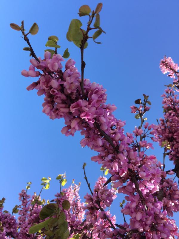 Spring Flower. Fresno.JPG