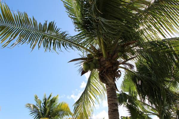 4-10 椰子树.JPG