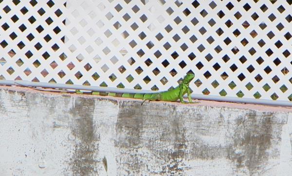 5-2 鬣蜥.JPG