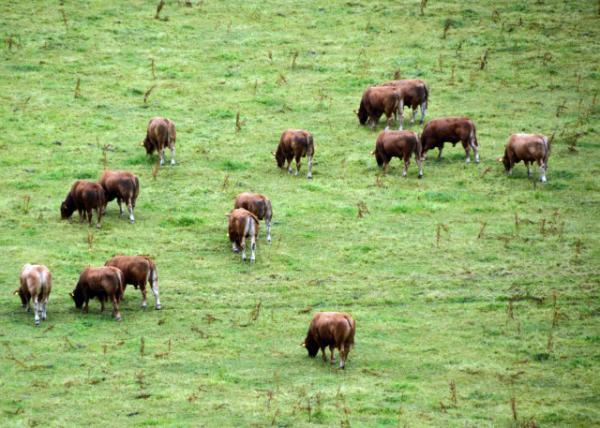 2016-07-09_Blarney Castle_Cattle-20001.JPG