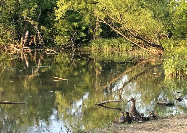 2020-05-26._Pond @ Windlestrae Park-30001.JPG